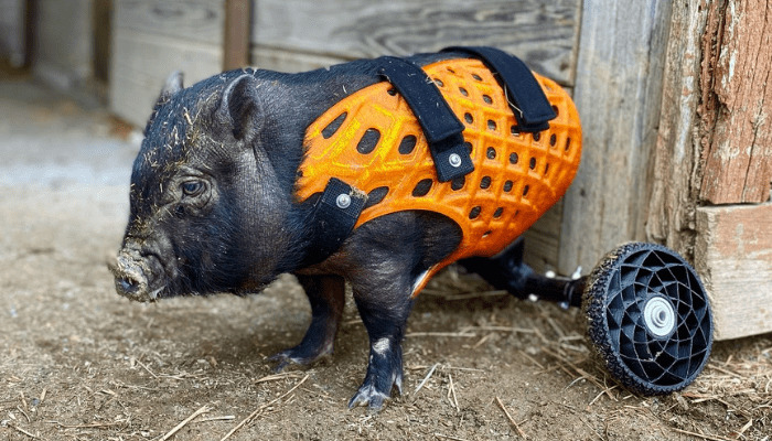 Tammy، یک خوک نجات یافته با پای عقبی مصنوعی