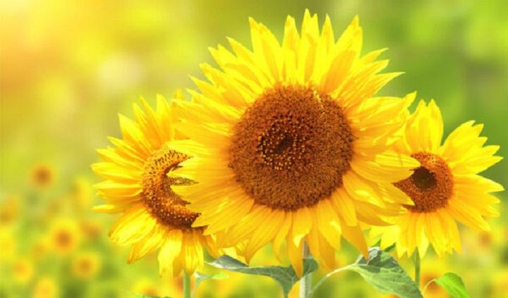 جوهر گل آفتاب گردان قابل پرینت